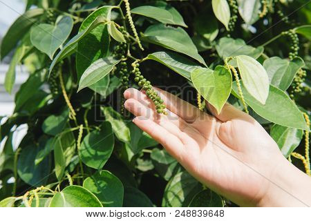 Fresh Green Peper On Peper Tree