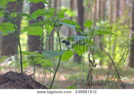Purple-black Not Deadly Toxic Berries Of European Black Nightshade Shrub, Bunched In Lots Of Racemes
