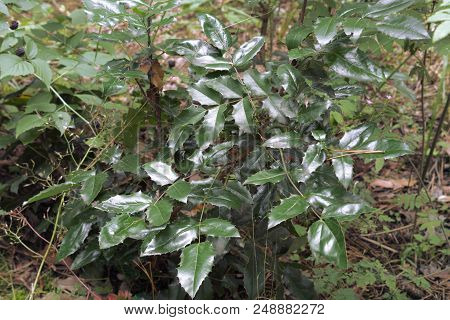 Waxed Dark Green Pinnate Foliage Consisting Of Spiny Leaflets, On The Bush Of Oregon Grape. Growing