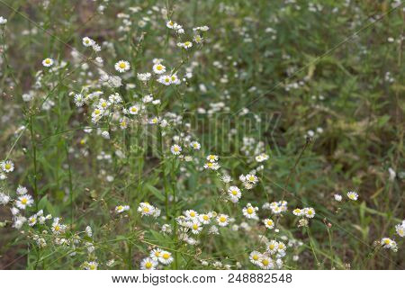 Days Of Green European Spring And Summertime. Yellow-white Forest Flowers On High Spreading Stalks.