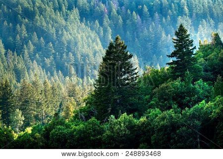 Pine forest in wilderness mountains pine trees new growth green greenery