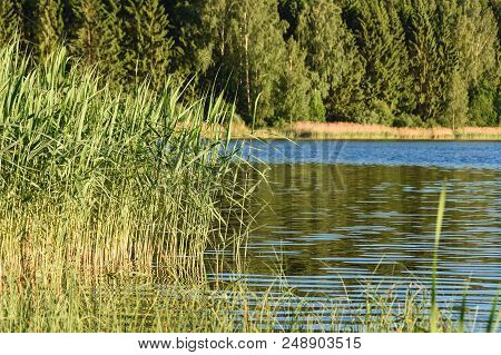Water Reed. Water Cane Against The Background Of The Pond And Forest. Nature Pond Forest Park. Small