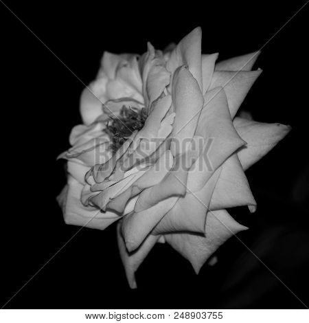 Roses Are Red Or Are They? Sometimes There Just Black And White...