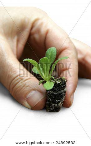Petunia Seedlings