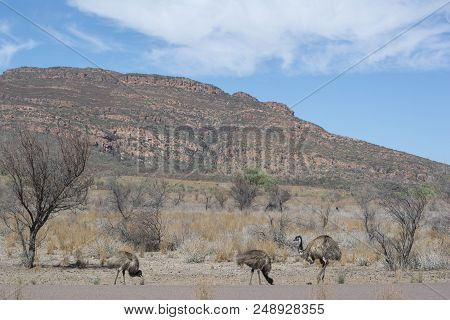 Wild Emu (dromaius Novaehollandiae) And Two Of The Chicks On The Side Of The Road In Wilpena Pound,