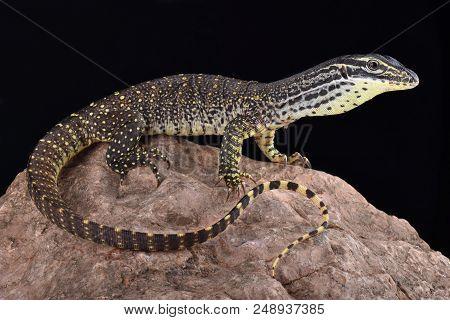 The New Guinea Argus Monitor (varanus Panoptes Horni) Is A Large Omnivorous Lizard Species.
