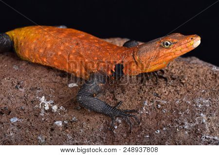 Emperor Flat Lizard (platysaurus Imperator) Is The Largest Species Of Its Family. They Are Found In