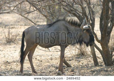 Ñu africano