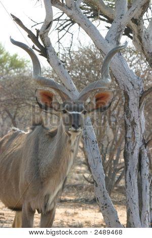 Antílope Kudu masculino