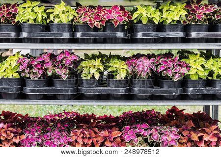 Seedlings Of Plants In Pots For Planting. Decorative Flowers And Plants