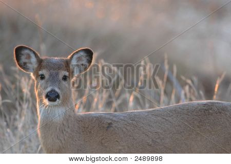 Missouri White-Tailed Deer