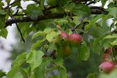 some unripe red apples on the branches, jakob fischer old apple variety from germany poster