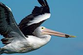 The Australian pelican (Pelecanus conspicillatus) is a large waterbird of the family Pelecanidae, widespread on the inland and coastal waters of Australia and New Guinea, also in Fiji, poster
