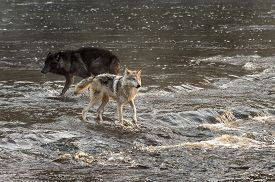 Grey Wolves (canis Lupus) Stand In Rushing Water - Captive Animals