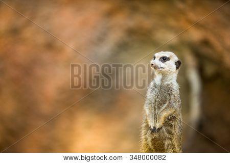 Watchful meerkat standing guard (shallow DOF)