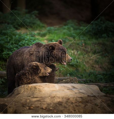 Brown bear (Ursus arctos) in forest with a cub