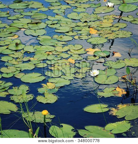 Nympaea Tetragona Georgi. White Water Lily And Green Lily Pads In The Lake. Iucn, Red List. Kenozers