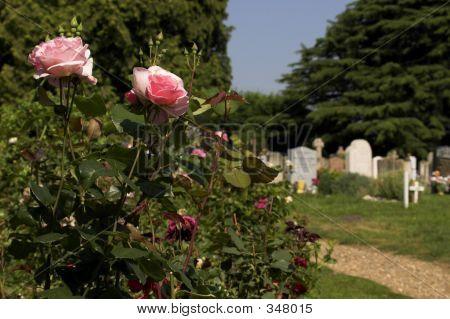 Graveyard Rose Bush