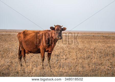 Cow And Calve In Rustic Thistle Feild Setting Australia