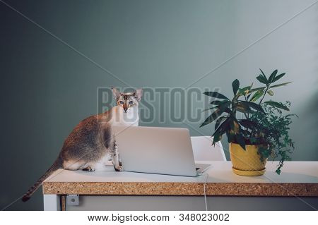 Cute Adorable Oriental Cat Sitting On Table At Home Office With Laptop. Domestic Animal Pet At Home