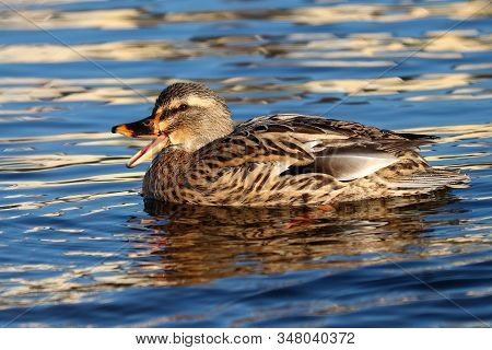 A Female Mallard Duck Quacking Whilst Swimming In Deep Blue Water