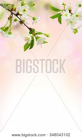 Spring Blooms Background. Beautiful Nature Scene . Cherry Blossoms , Sunny Day. Spring Flowers. Beau