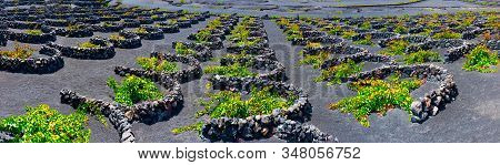 La Geria Vineyard On Black Volcanic Soil..scenic Landscape With Volcanic Vineyards. Lanzarote. Canar