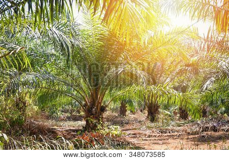 Palm Plantation In The Agriculture Asian / Tree Palm Oil Growing Up Tropical Fruit In The Garden Sum