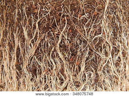 Close Up On Rootbound Plant , Background Of Roots And Soil. Root Bound Refers To Plants Roots Growin