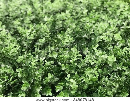 Beautiful Wall From Artificial Green Creeper Plant For Background And Texture