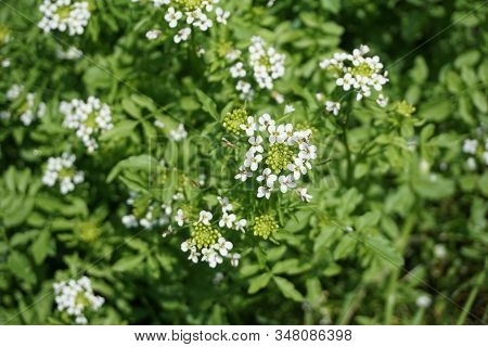 Watercress (nasturtium Officinale), Also Called Yellowcress, Blooms In The Fourth Street Swamp Of Ha