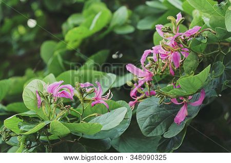 Beautiful Purple Bauhinia Variegata Flowers Are Blooming In The Green Leaves Background