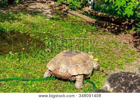 African Spurred Tortoise (centrochelys Sulcata), Also Called The Sulcata Tortoise