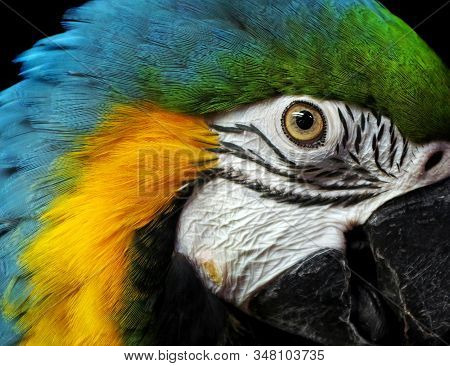 Macaw Parrot Portrait Isolated On Black. Bright Tropical Parrot. Head Of A Colorful Exotic Bird.