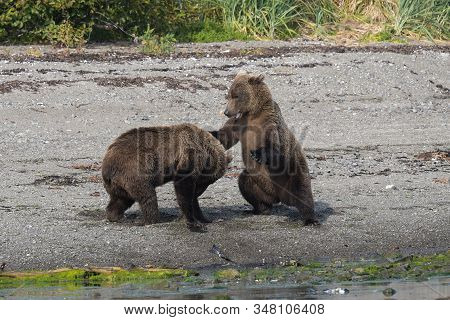 Brothers - Two Young Playing Grizzlies On The Coast Of Katmai, Alaska