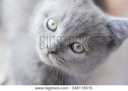A British Kitten Is Lying On The Windowsill. Cute Kitten. Magazine Cover. Pet. Grey Kitten. . Kitten