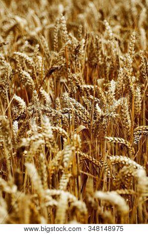 Field of wheat crops in summer