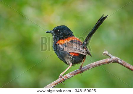 Red-backed Fairywren Sitting On A Twig