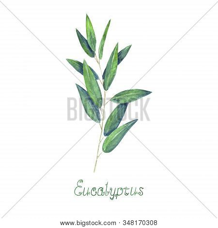 Eucalyptus Leaves And Branch Blue Green Isolated On White Background. Watercolor Hand Drawn Delicate