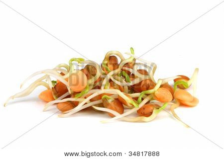 Red Lentils Sprouts