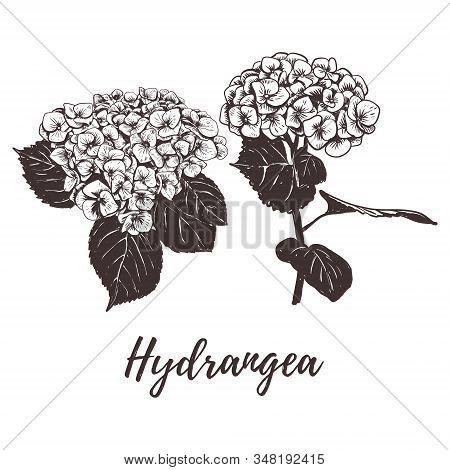 Hydrangea Flower Vector Illustration. Hydrangea Sketch Hand Drawing. Set Hydrangea Botanical Drawing