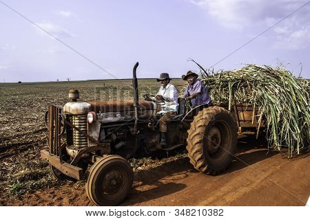 Ribeirao Do Sul, Sao Paulo, Brazil, September 24, 2019. Farmers Carry Sugar Cane To Silage Cattle On