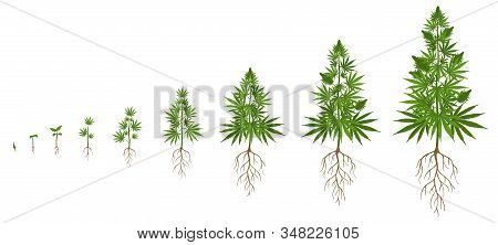 Hemp Plant Growth Cycle. Cannabis Cultivation, Planting Marijuana Seeds And Hemps Plants Stages Of G
