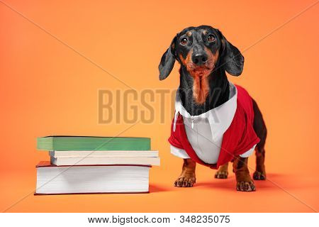Funny Black And Tan Dachshund Dressed In Red And White Official Costume Professor, Stand Close To Th