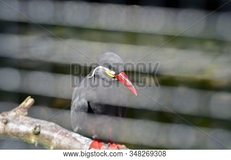 Wildlife Scene From Nature. Black Bird With Red Bead And Claws Sitting On The Tree Branch Looking In
