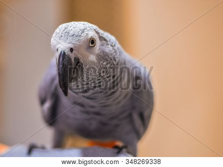 Beautiful Gray-white Parrot Looking At The Camera With Keen Eye And Curiousity Over Blurred Beige Ba