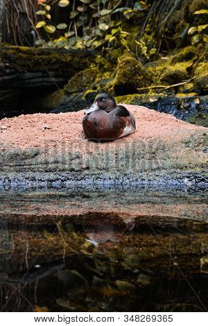 A Wild Duck Sits On The Shore, Resting Near A Pond On Autumn Day.