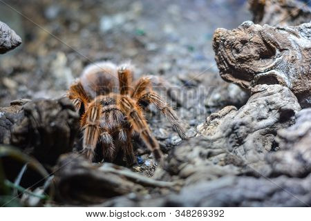 Macro Shot Of Hairy Brown Spider Hunting In Wild Nature. Focus On The Animal.