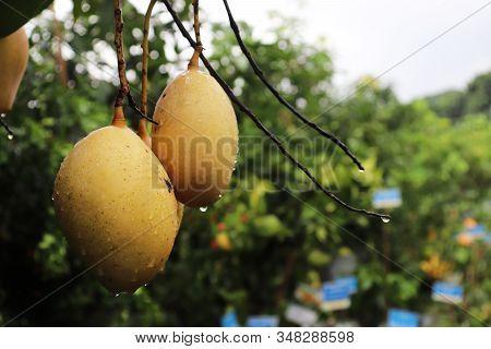 Isolated Close-up Green Mango Tree With Rain Drop
