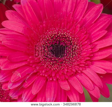 Barberton Daisy Indoors. Botanical Name: Gerbera Jamesonii.